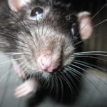 The Rat by Kemal Onor